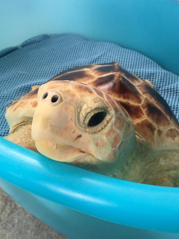 Liberazione tartarughe